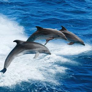 D. Delfin